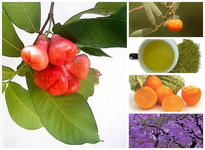 ramondeassis_plantas_medicinais_jua_mate